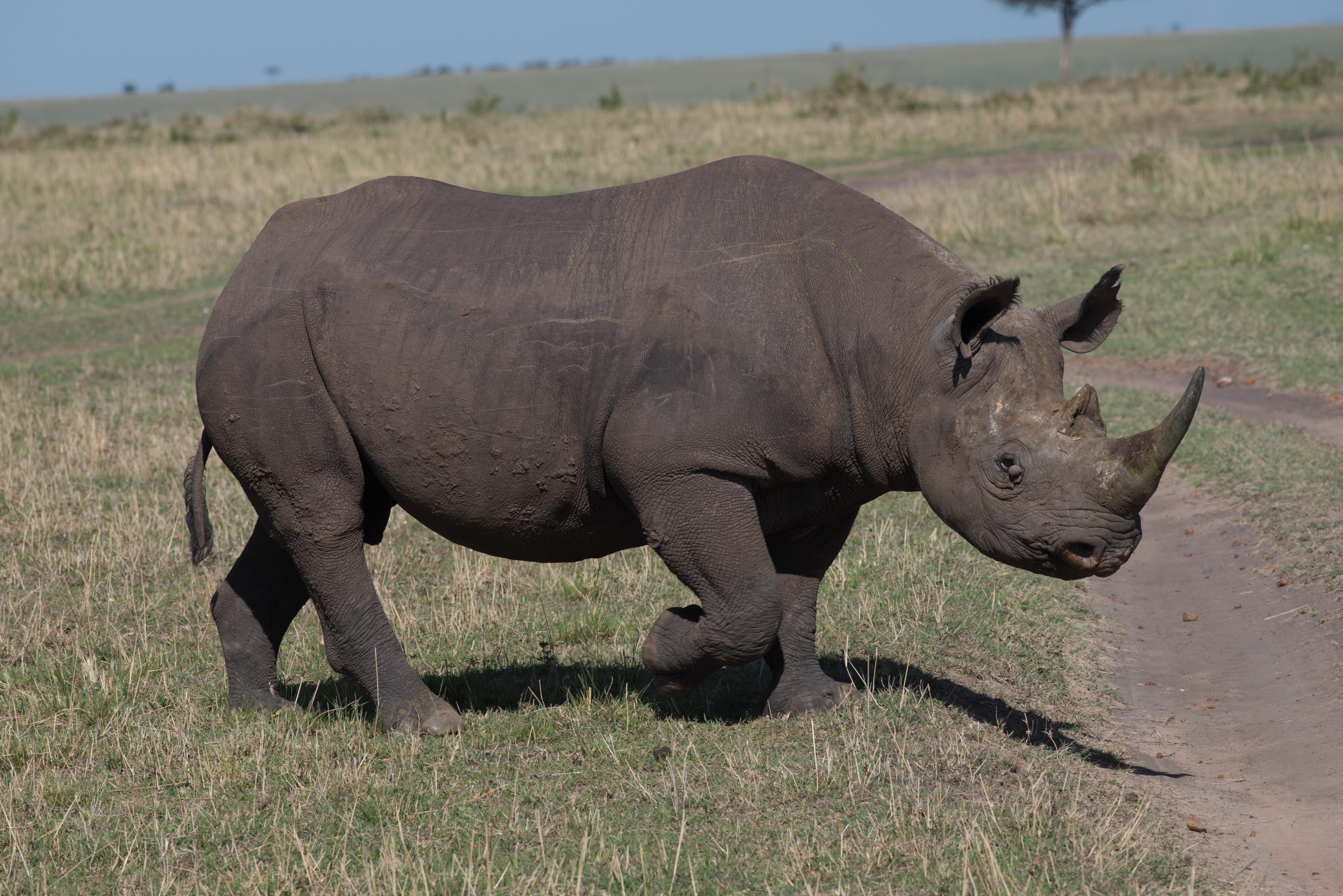 Black Rhino In Plains