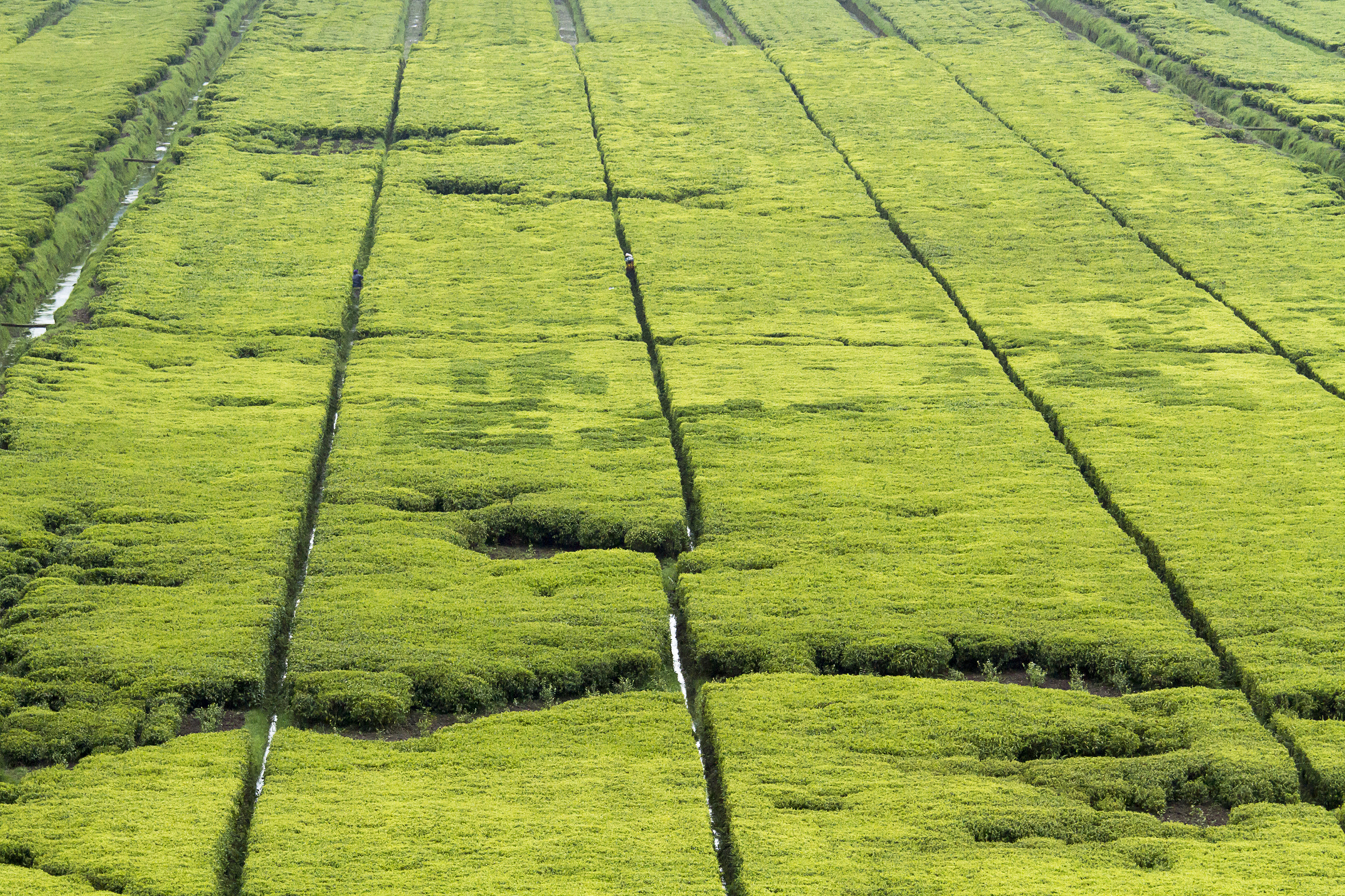 Beautiful tea fields in Rwanda