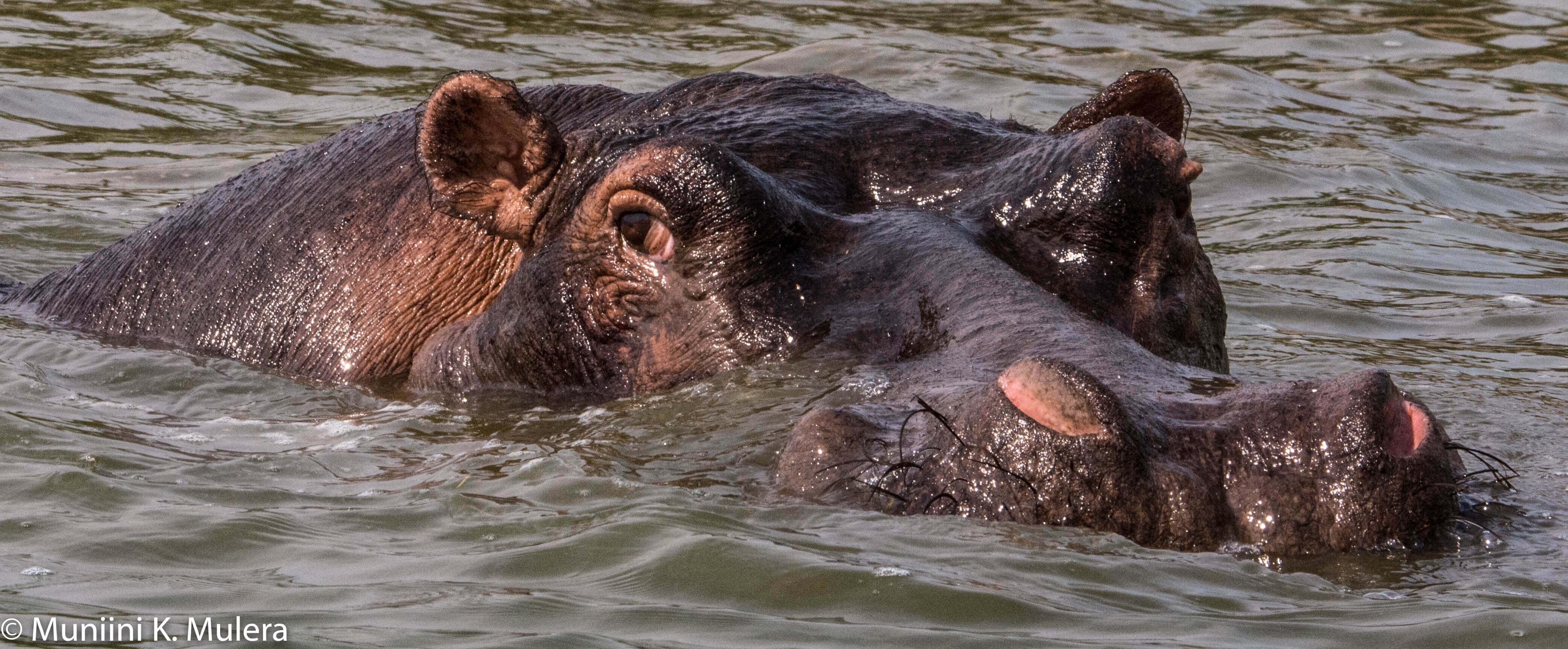 Hippo - Kazinga Chanel, Rwenzori National Park, Uganda-1-3