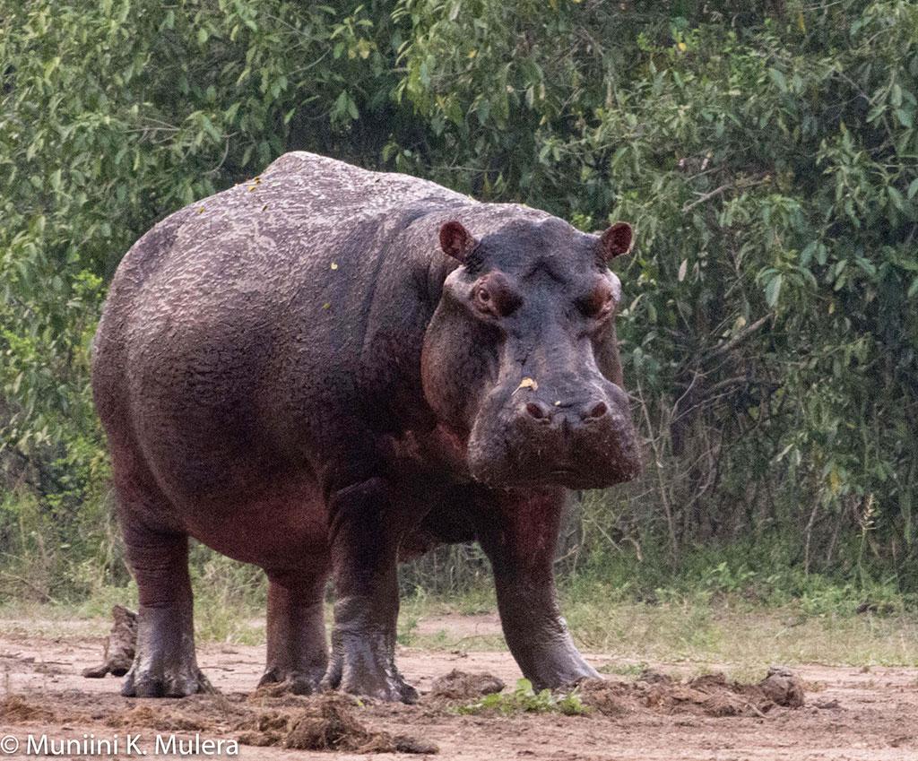 Hippo----Rwenzori-National-Park,-Uganda-1