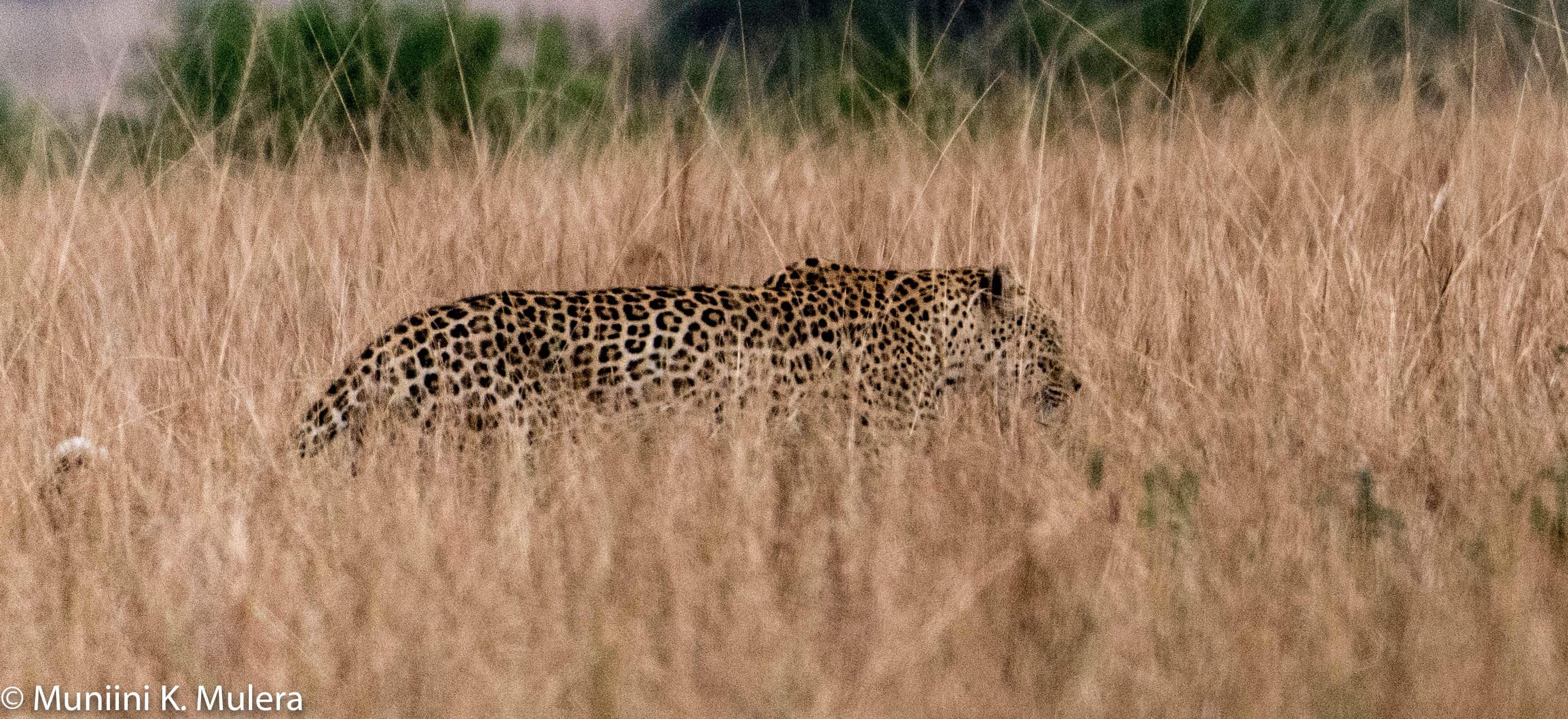 Leopard 2 - Rwenzori National Park, Uganda-1