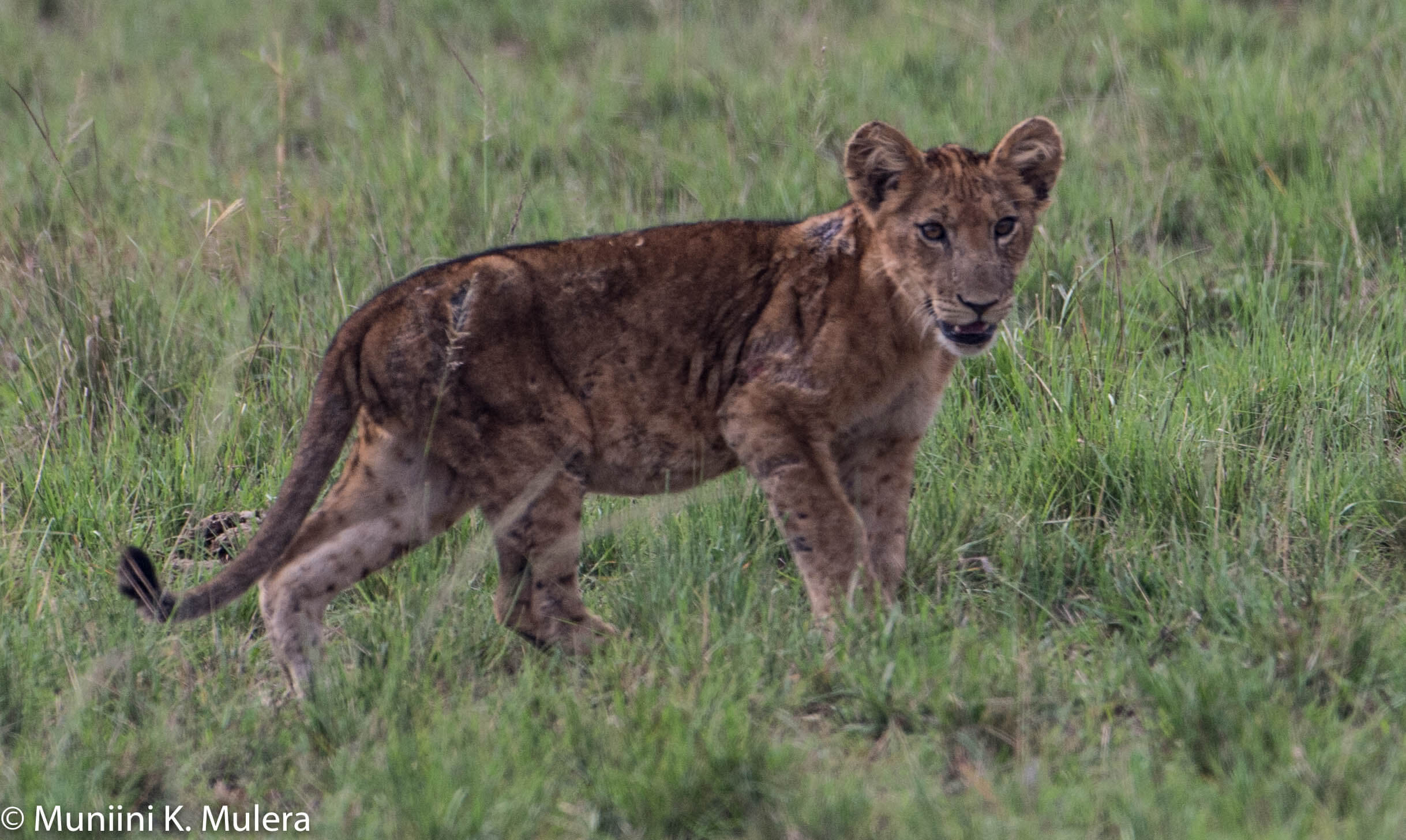 Lion Cub- Rwenzori National Park, Uganda-1-2