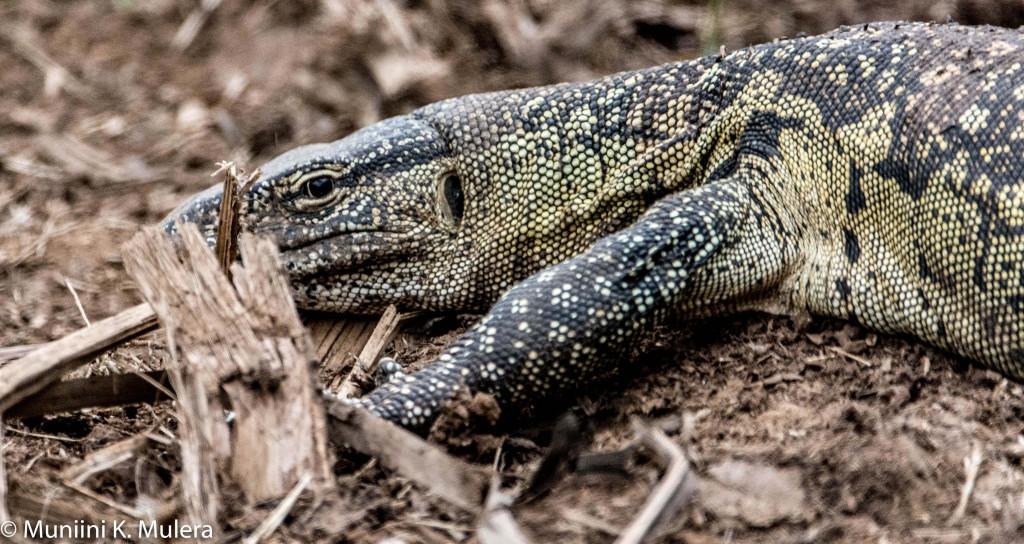 Lizard - Nairobi National Park-1