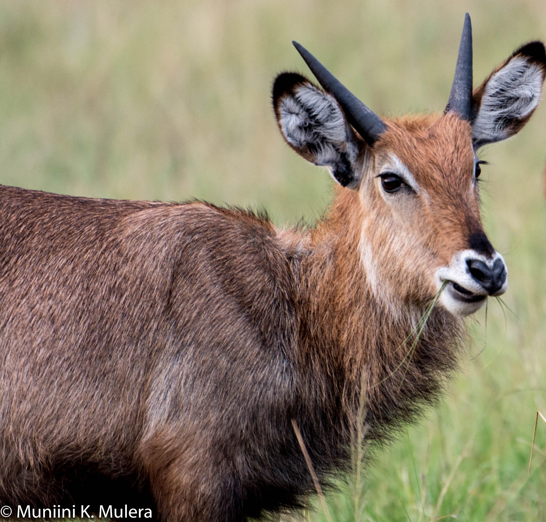 Uganda Kob 4 - Rwenzori National Park, Uganda-1
