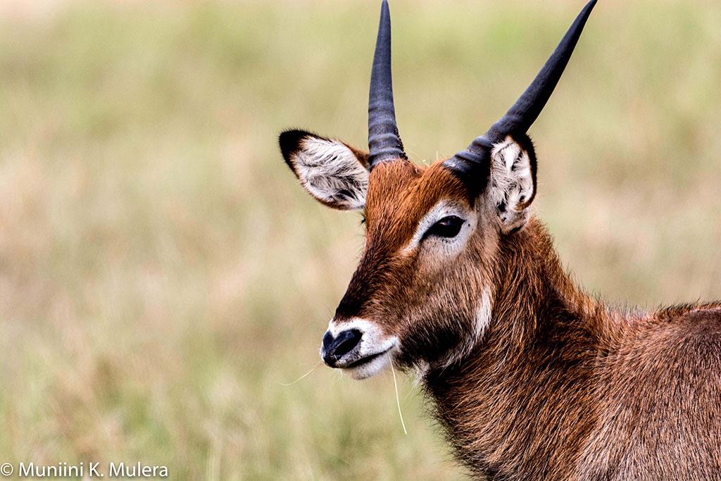 Uganda-Kob-5----Rwenzori-National-Park,-Uganda-1