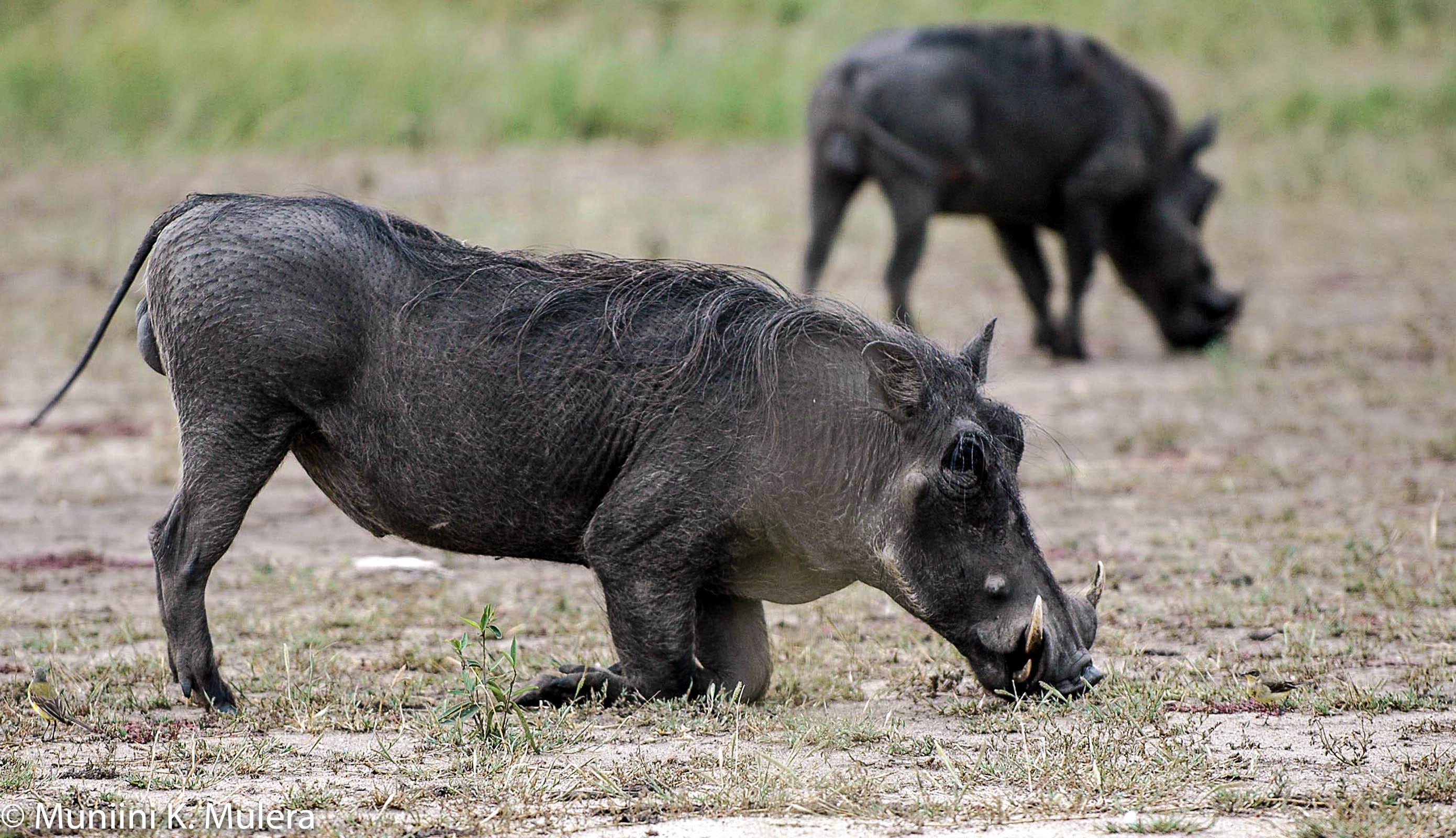 Warthog Rwenzori National Park, Uganda-1