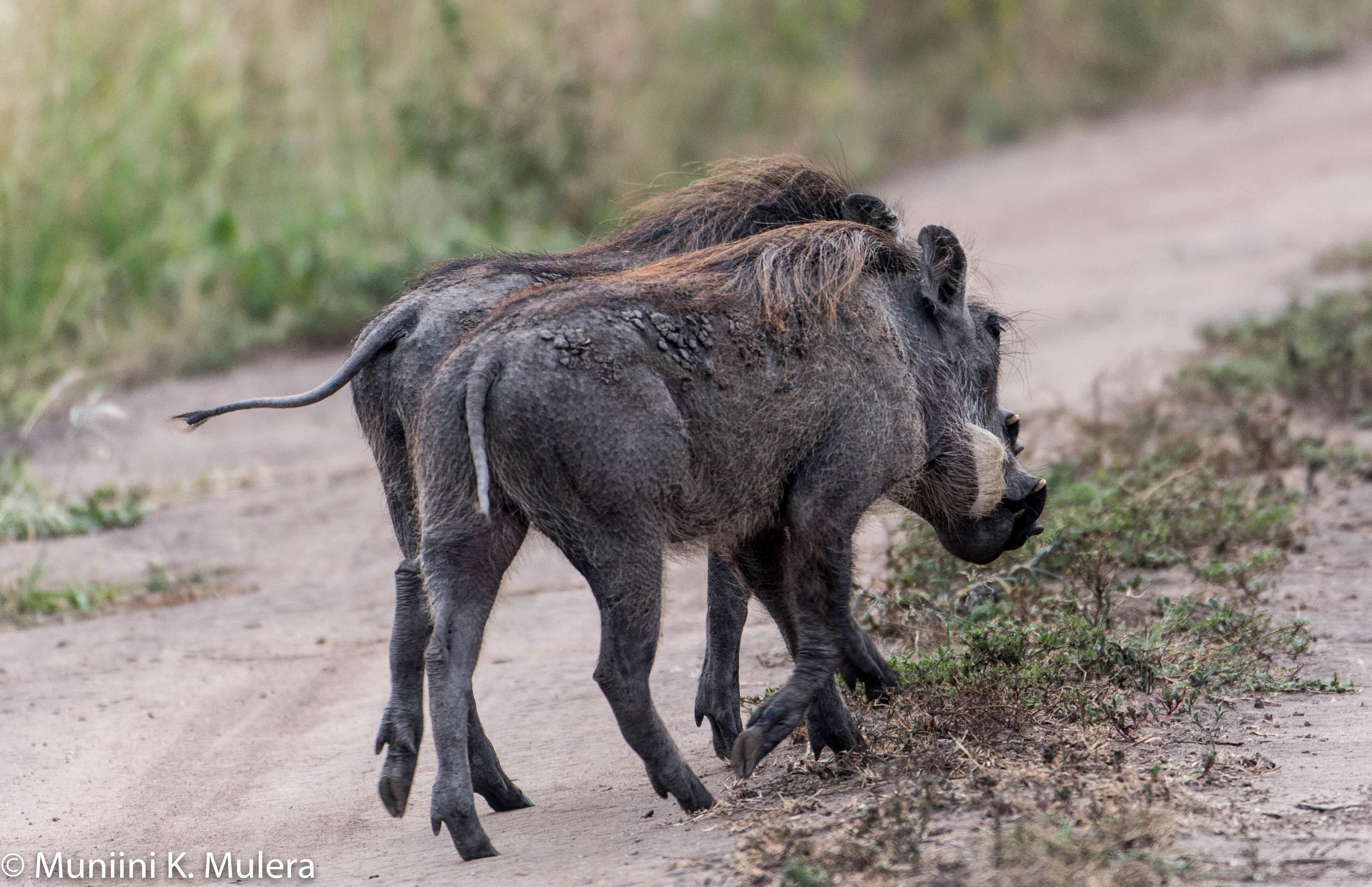Warthogs - Rwenzori National Park, Uganda-1