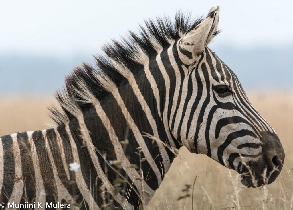 zebra essay