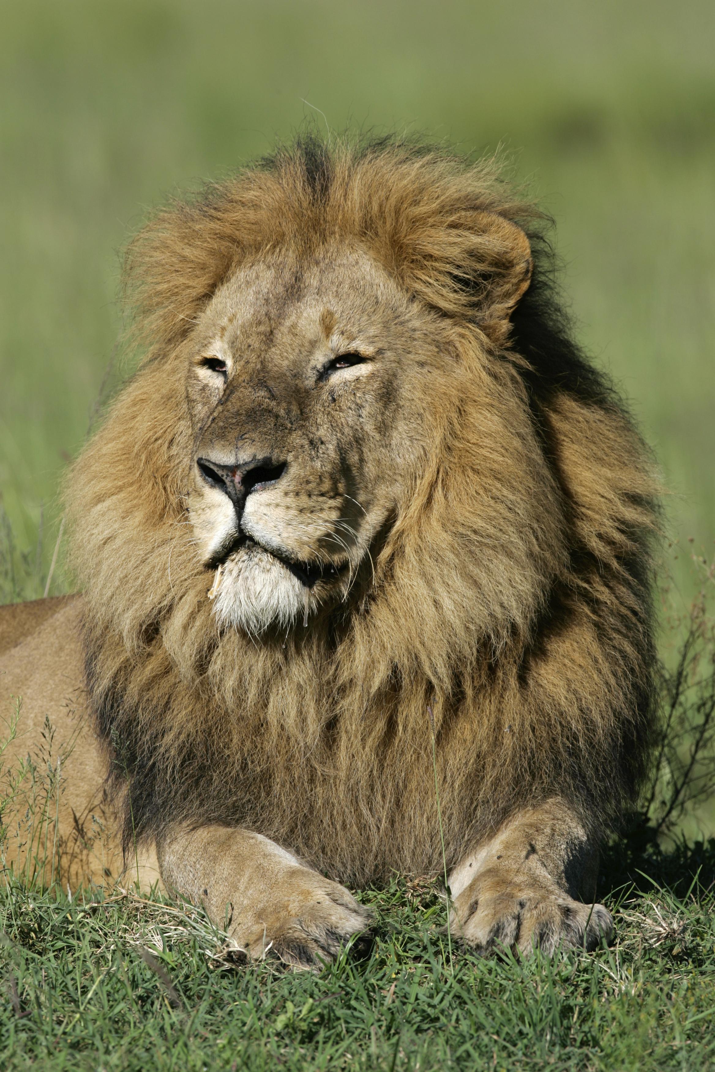 Lion Male Uganda