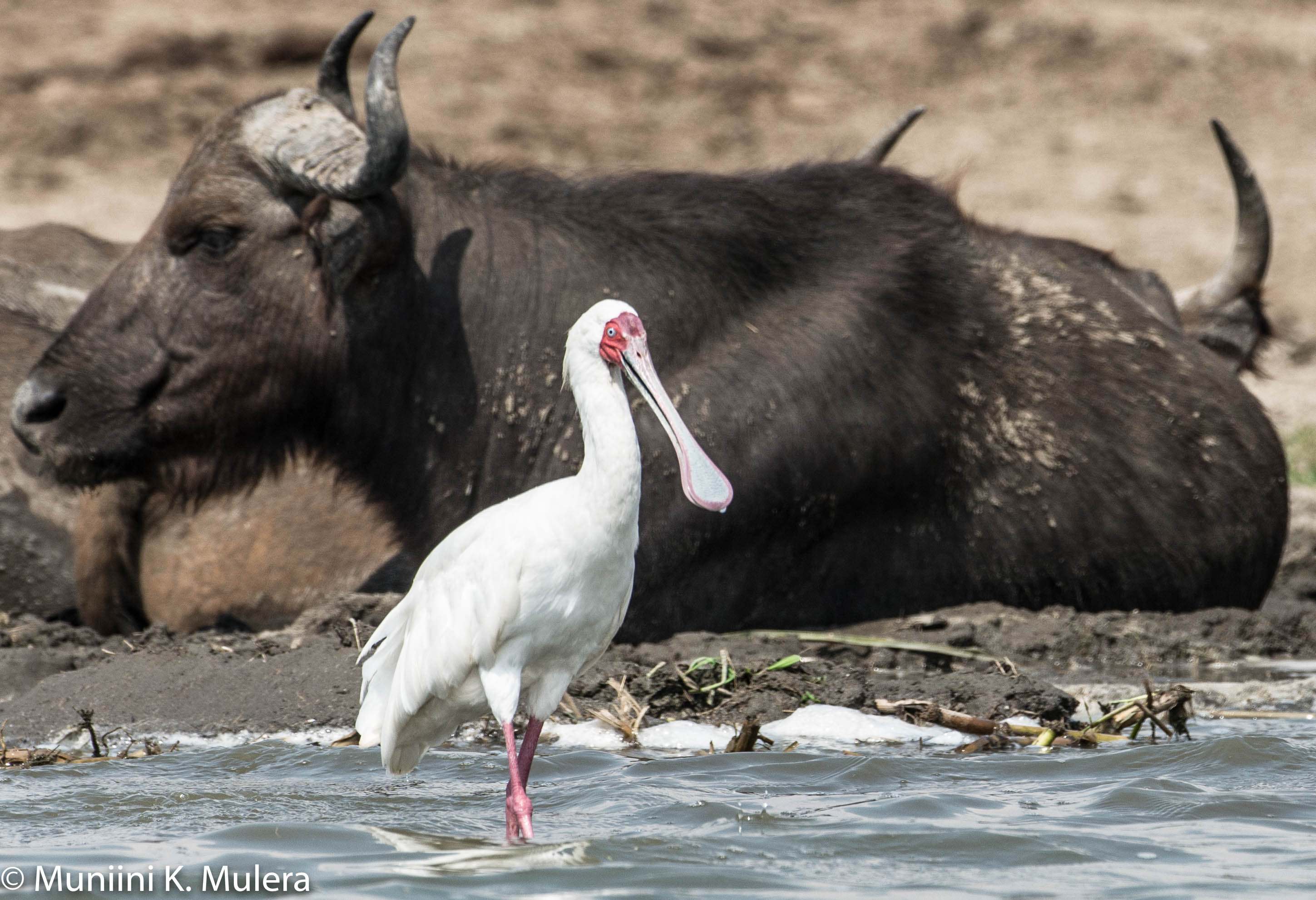 Bird and Buffalo Kazinga Channel, Uganda