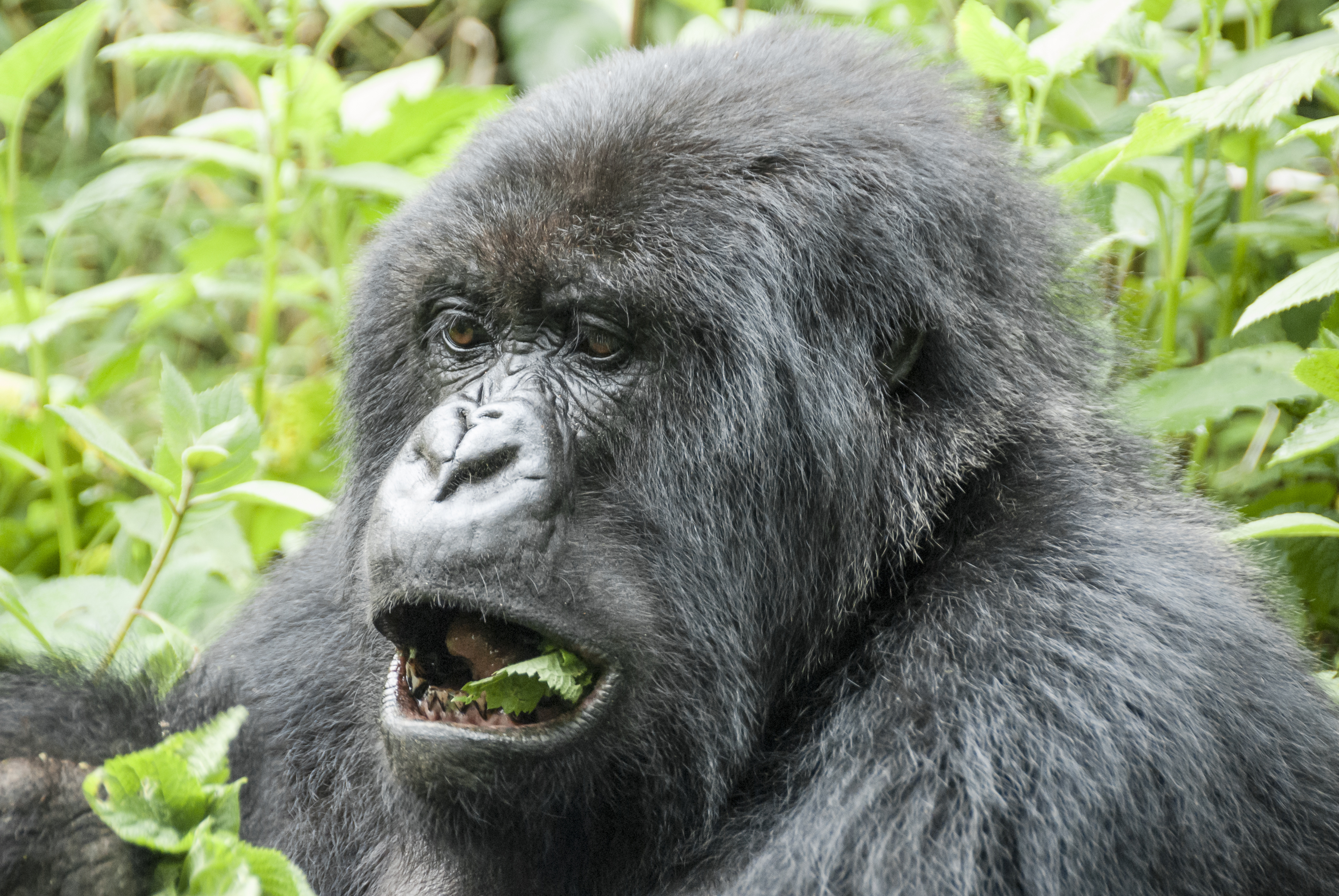 Mountain Gorilla in Volcanoes National Park (Rwanda)