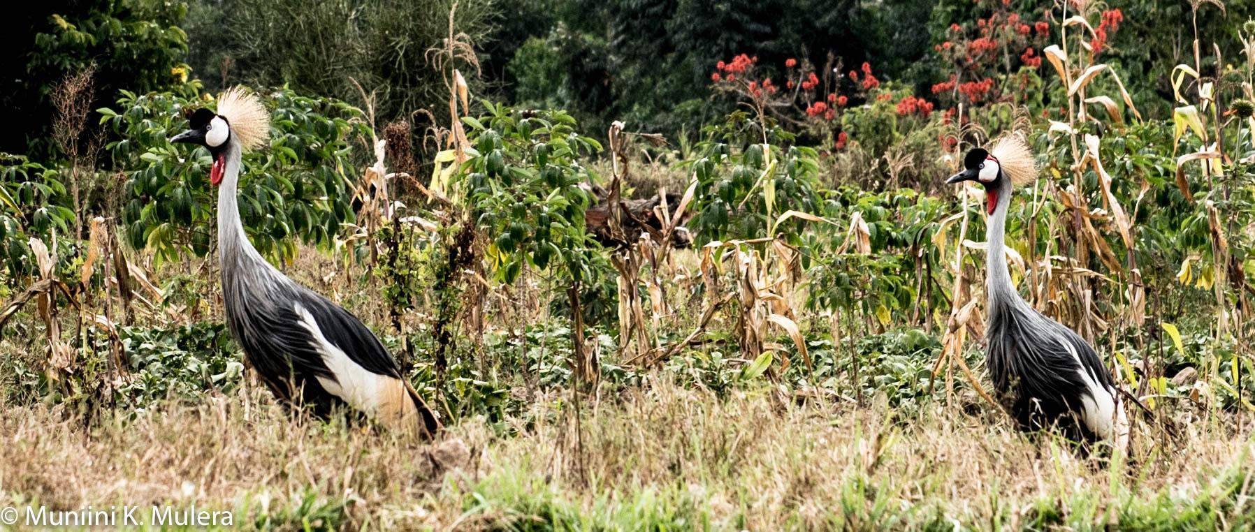 Crested Cranes - Mparo, Kigezi, Uganda-1