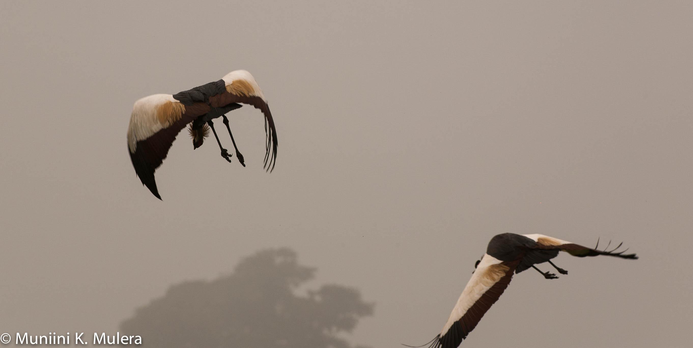 Crested Cranes at Makanga Kabale Uganda 2