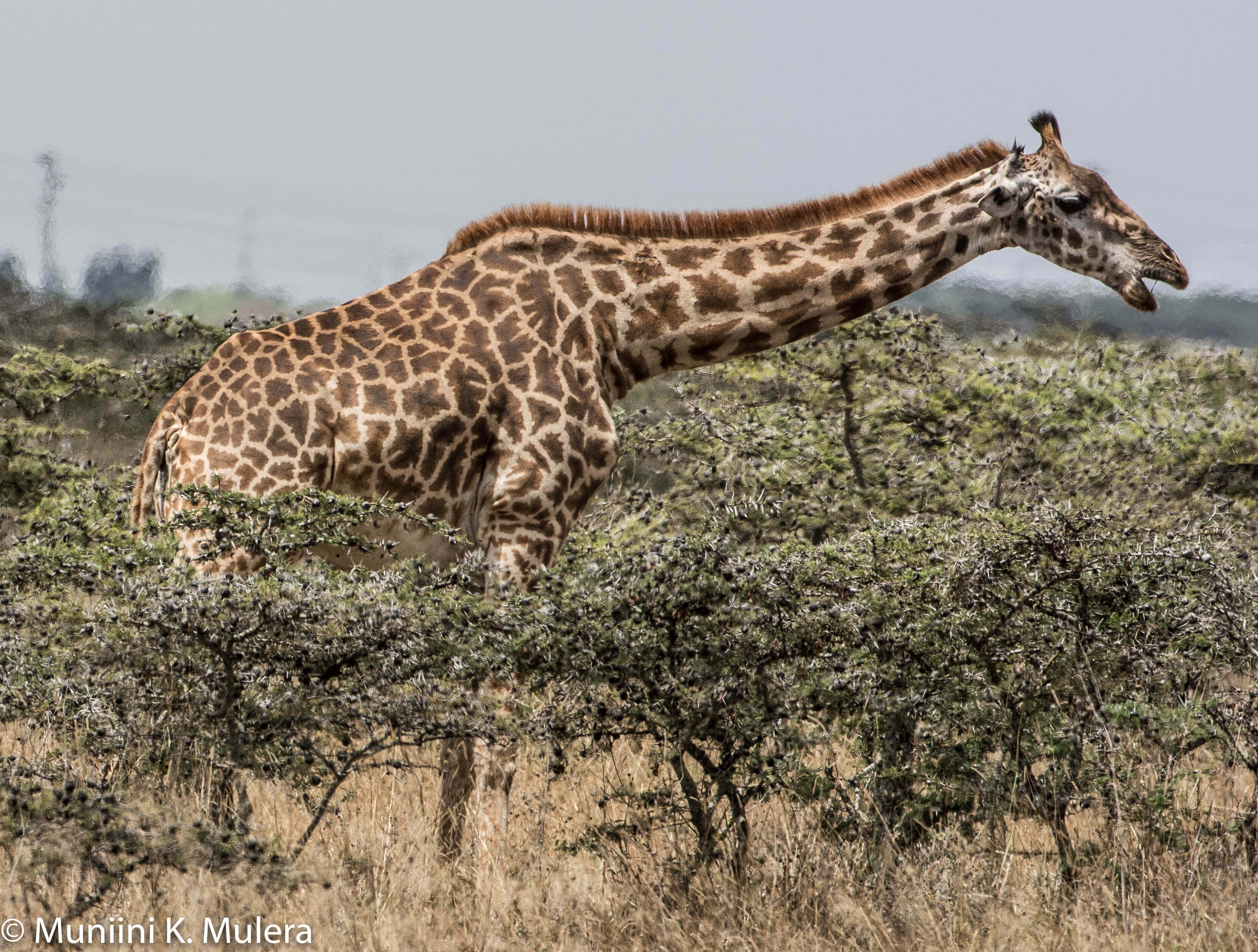 Giraffe- Nairobi National Park-1