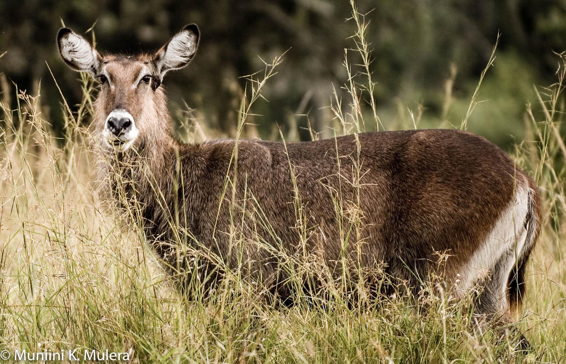 Impala - Rwenzori National Park, Uganda-1