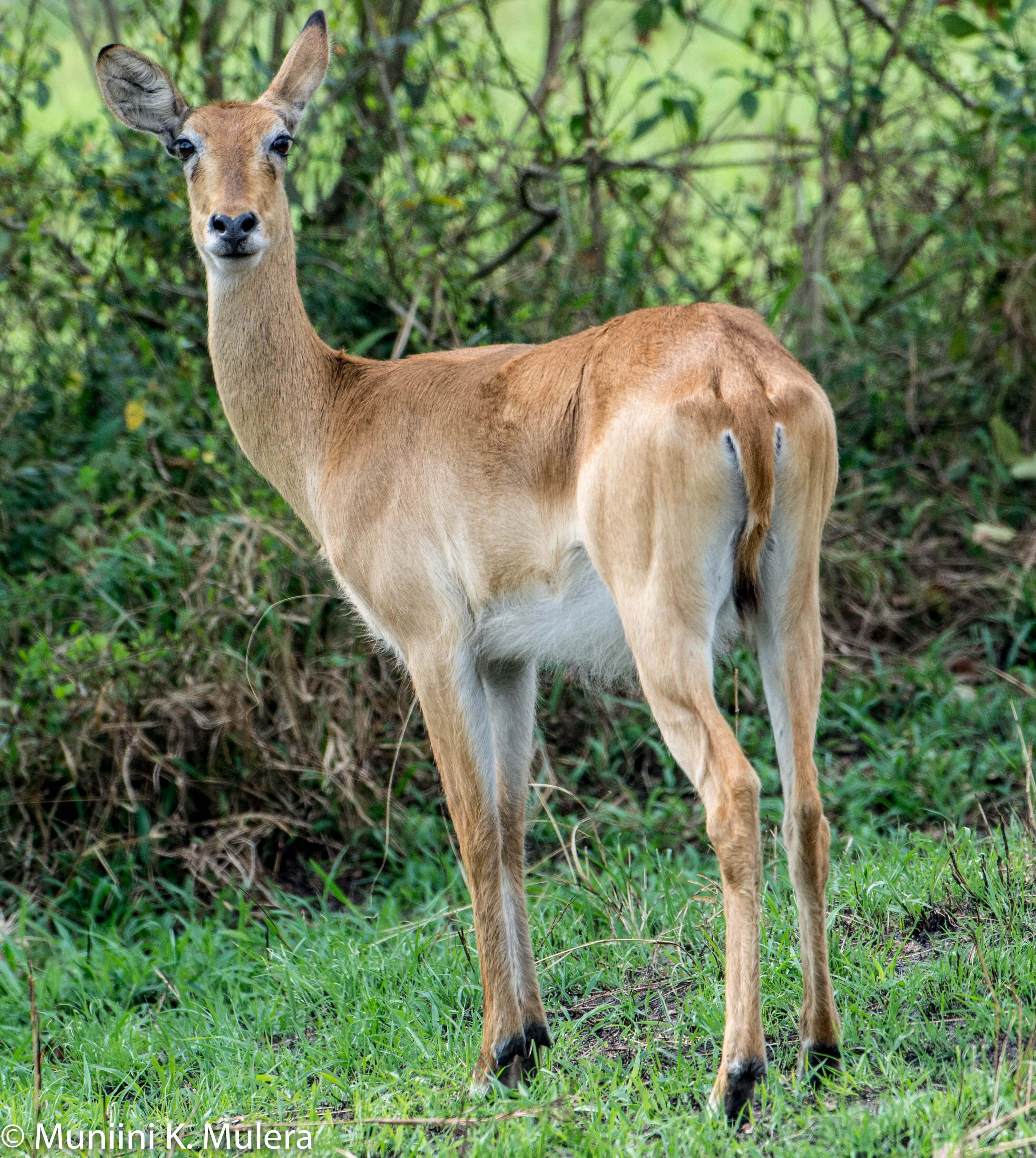 Impala- Rwenzori National Park, Uganda-1