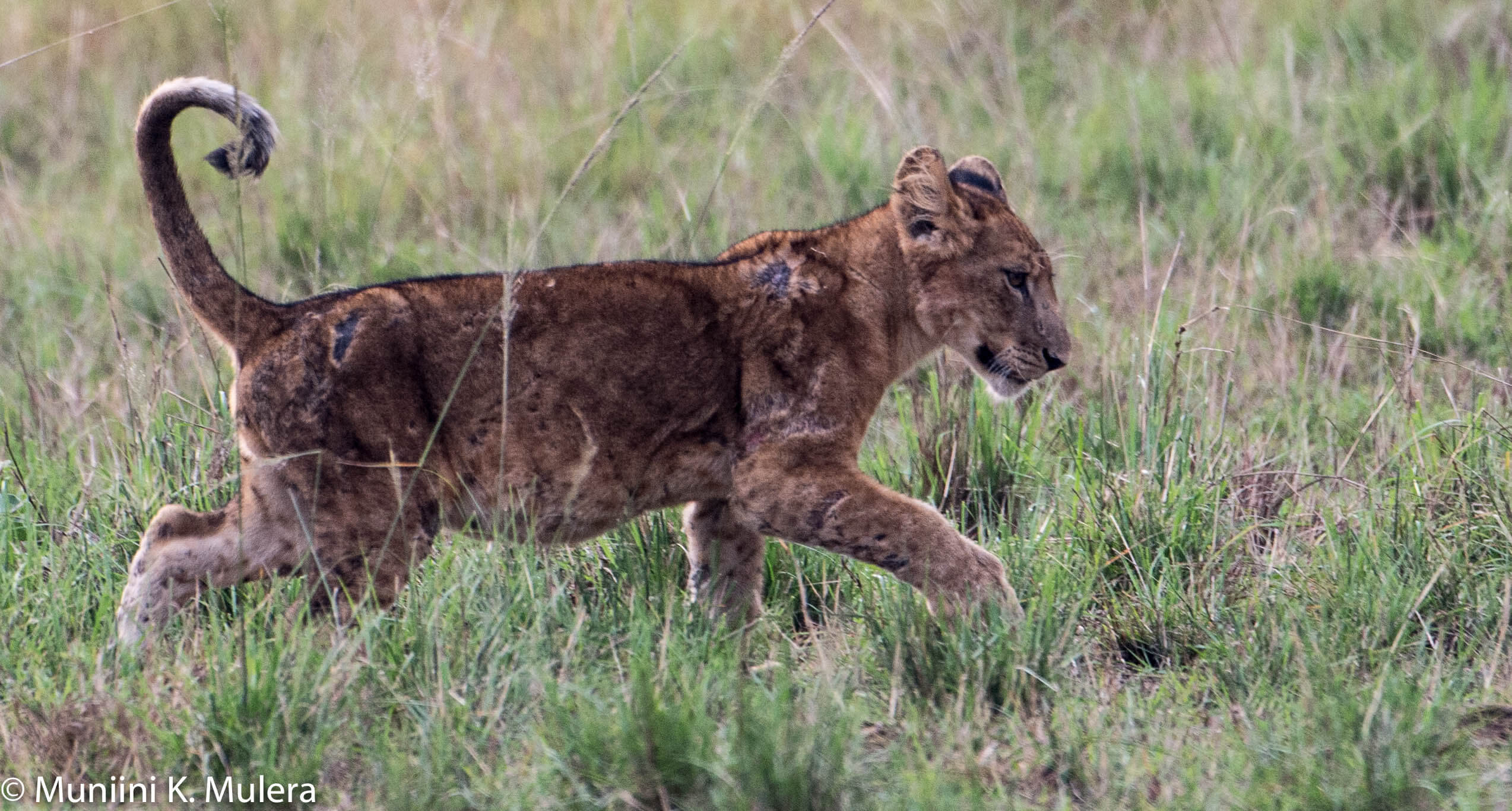 Lion Cub- Rwenzori National Park, Uganda-1