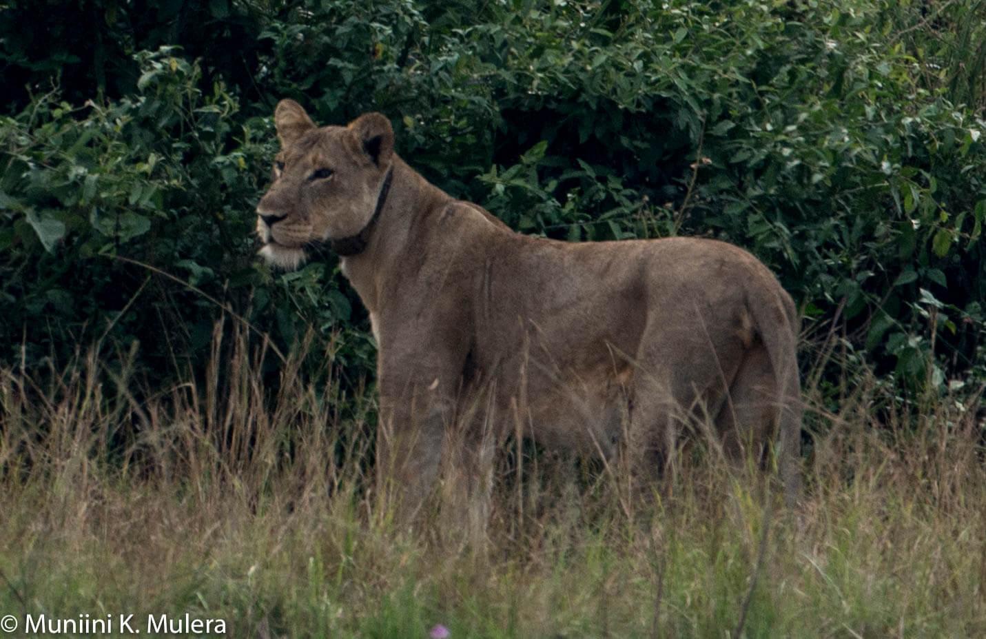 Lioness - Rwenzori National Park, Uganda-1