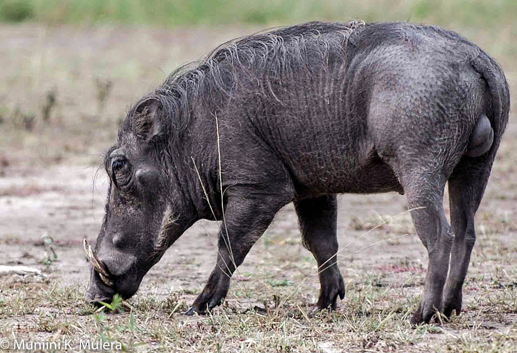 Warthog 2 Rwenzori National Park, Uganda-1