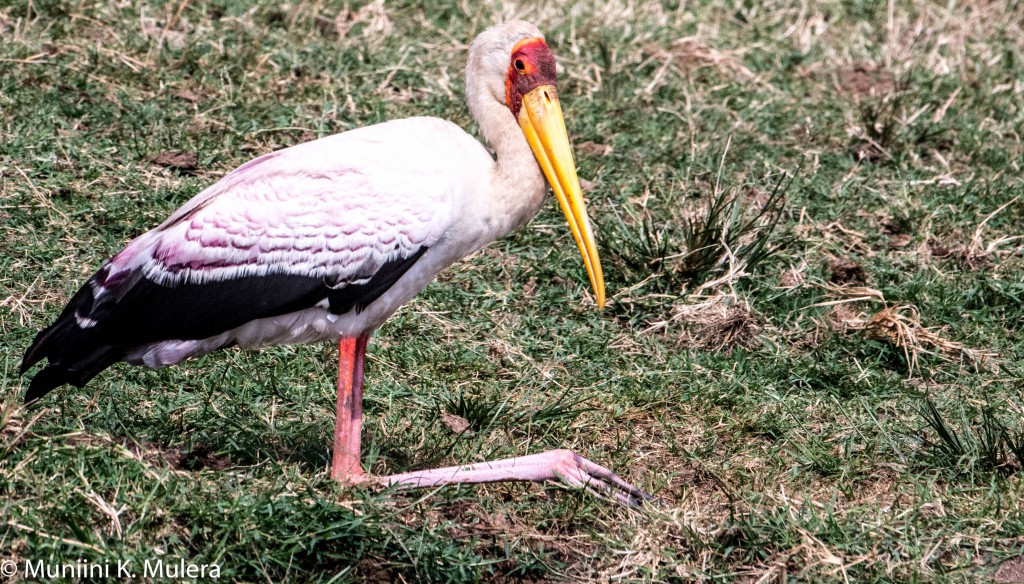 White Ibis- Kazinga Chanel, Rwenzori National Park, Uganda-1-2