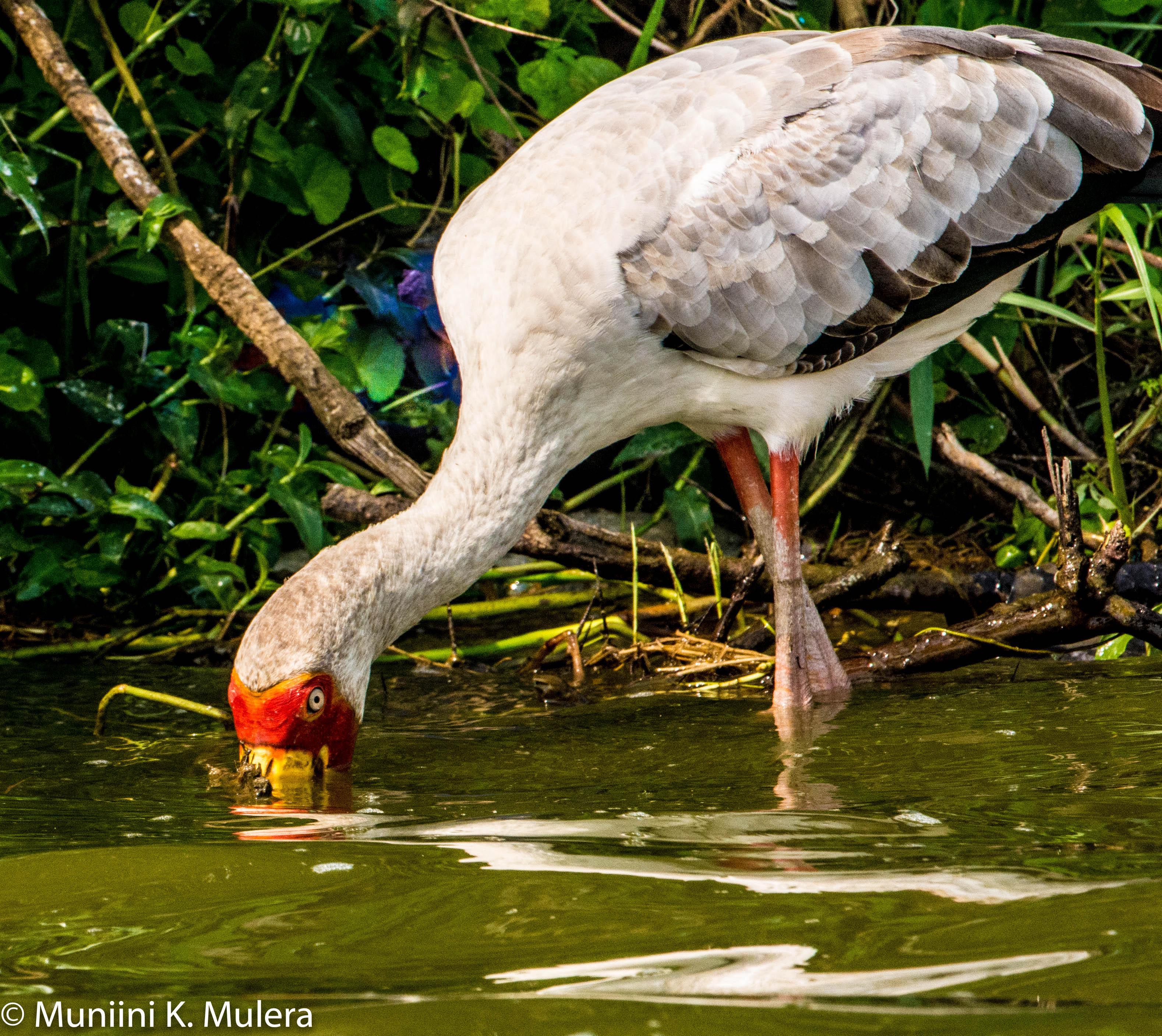 White Ibis- Kazinga Chanel, Rwenzori National Park, Uganda-1
