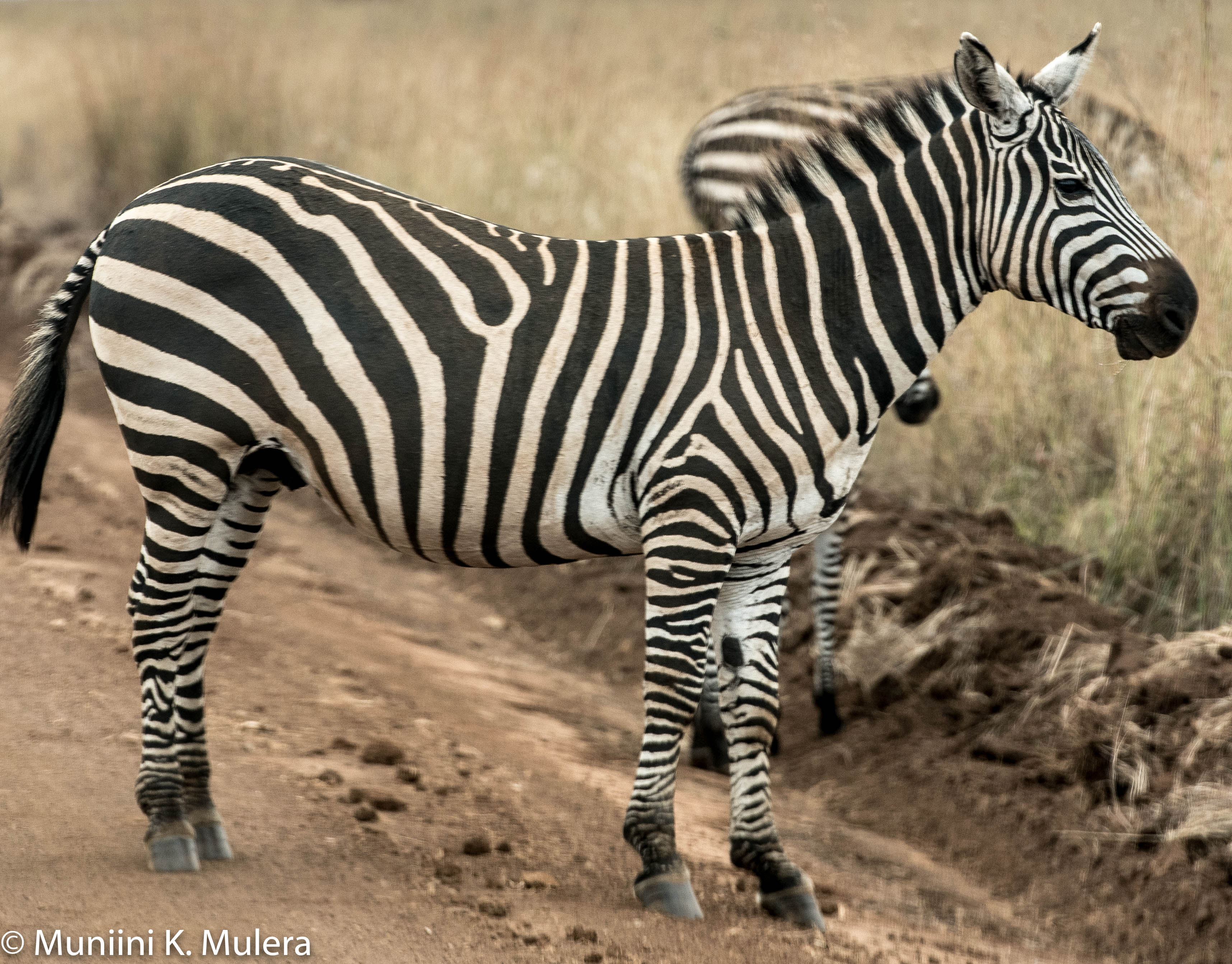 Zebra - Nairobi National Park-1