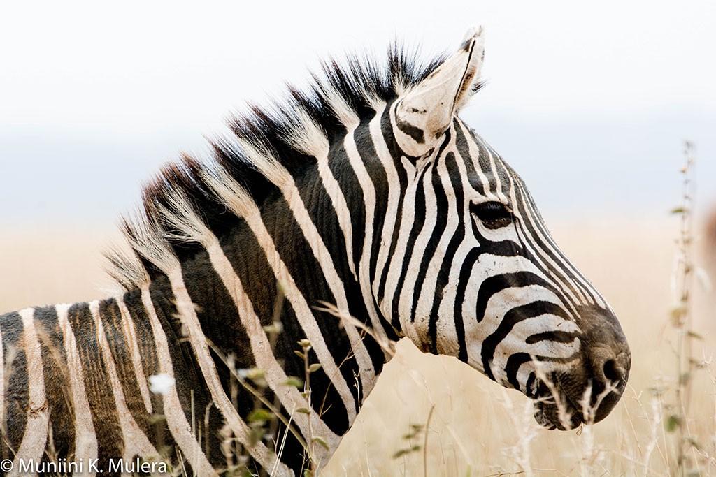 Zebra--Nairobi-National-Park-1