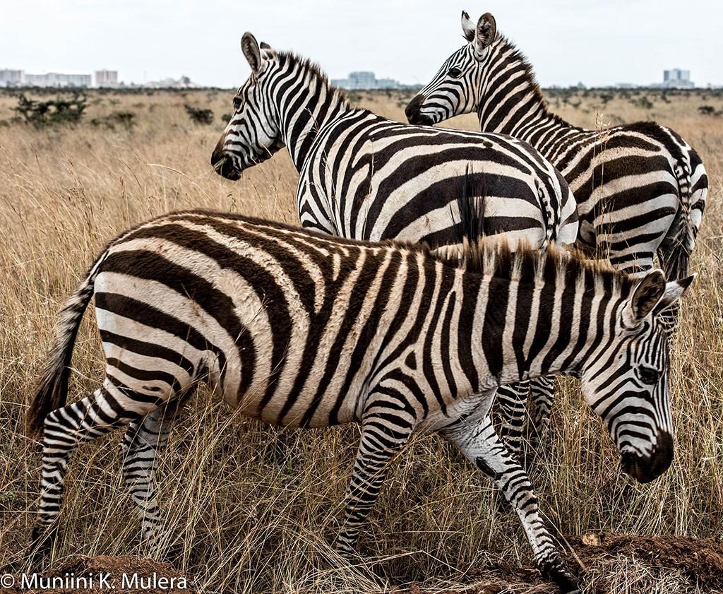 Zebra-Trio---Nairobi-National-Park-1